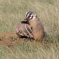 American Badger Cub Climbs On Its Mother by Tony Hake