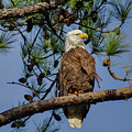 American Bald Eagle 2 by Tina Cannon