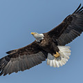 American Bald Eagle 2017-18 by Thomas Young
