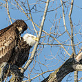 American Bald Eagle 2017-19 by Thomas Young