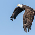 American Bald Eagle 2017-5 by Thomas Young