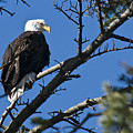 American Bald Eagle by Chad Davis