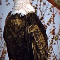 American Bald Eagle - Iowa by Peg Donnellan