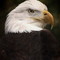 American Bald Eagle by Joseph G Holland