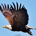American Bald Eagle by Lori Mahaffey