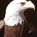 American Bald Eagle by Richard Henne