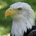 American Bald Eagle by Sabrina L Ryan