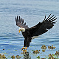 American Bald Eagle Sets Down On Fish by Gary Langley