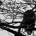 American Bald Eagle by Sue Harper