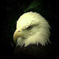 American Bald Eagle by Vincent Duis