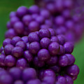 American Beautyberry by Mitch Spence