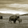 American Bison Calf And Cow by Chris Bordeleau