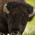 American Bison by Chad Davis
