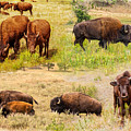 American Bison Collage by John M Bailey