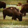 American Bison Grazing by Chris Bordeleau
