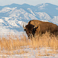 American Bison In Front Of The Rocky Mountains by Tony Hake