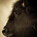American Bison by Jeff Diener