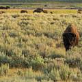 American Bison by Sebastian Musial