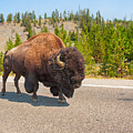 American Bison Sharing The Road In Yellowstone by John M Bailey
