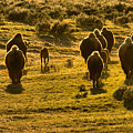 American Bison Sunset March by Adam Jewell