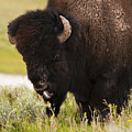 American Bison Tongue by Chad Davis