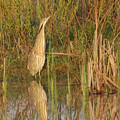 American Bittern Close To Shore by Mark Wallner