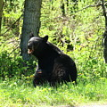 American Black Bear by Christiane Schulze Art And Photography