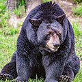 American Black Bear by Csaba Demzse