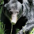 American Black Bear by Nicholas Blackwell