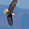 American Blad Eagle On The Wing by Gary Langley