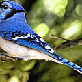 Blue Jay Bokeh by Kay Brewer