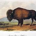 American Buffalo, 1846 by John James Audubon