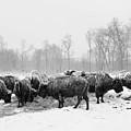American Buffalo #2 by Laszlo Gyorsok
