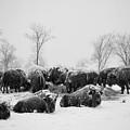 American Buffalo #3 by Laszlo Gyorsok