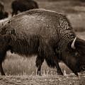 American Buffalo Grazing by Chris Bordeleau