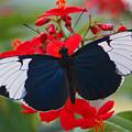American Butterfly by Jean Haynes