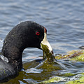 American Coot Feeding by Mark Madion