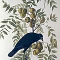 American Crow by John James Audubon