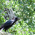 American Crow by Norman Johnson