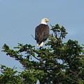 American Eagle by Mark Cheney
