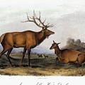 American Elk, 1846 by Granger