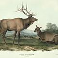 American Elk by John James Audubon