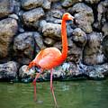 American Flamingo by Cynthia Guinn