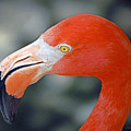 American Flamingo by Donna Proctor