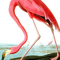 American Flamingo by John James Audubon