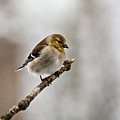 American Golden Finch Winter Plumage 1 by Douglas Barnett