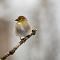 American Golden Finch Winter Plumage 4 by Douglas Barnett