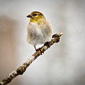 American Golden Finch Winter Plumage 6 by Douglas Barnett