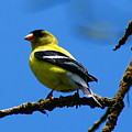American Goldfinch 1 by Ben Upham III