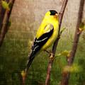 American Goldfinch by Al  Mueller
